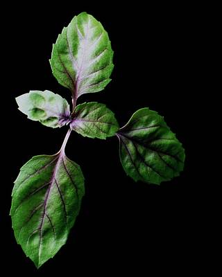 Healthy Eating Photograph - A Sprig Of Basil by Romulo Yanes