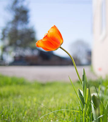 Flower Blooms Photograph - A Spring Tulip by Aaron Aldrich