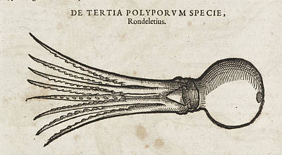 Squids Photograph - A Squid by British Library