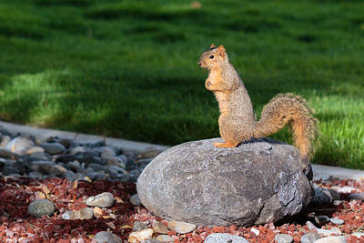 Photograph - A Squirrel On A Rock by Christy Patino