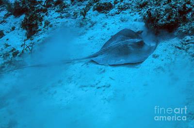 Batoidea Photograph - A Stingray Stirs Up The Sandy Bottom by Michael Wood