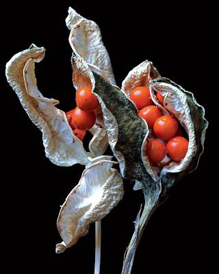 Photograph - A Stinking Iris Pod by Christopher Beane