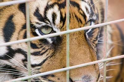A Sumatran Tiger In Dalton Zoo Print by Ashley Cooper