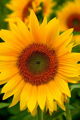 Photograph - A Sunflower by Caroline Stella