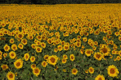 Provence Photograph - A Sunflower Field In Provence by Susan Rovira