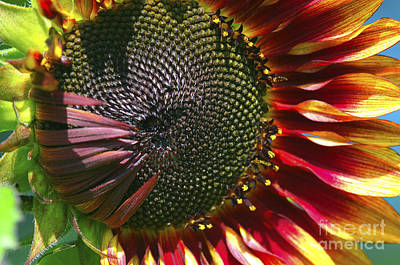 Photograph - A Sunflower For The Birds by Sharon Talson