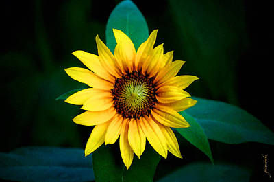 Photograph - A Sunflower Named Stella by Gwyn Newcombe