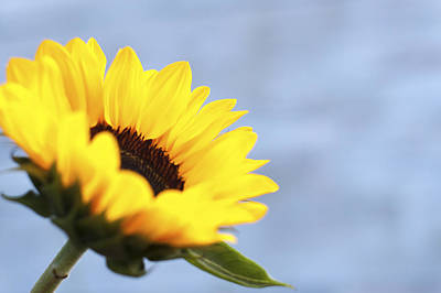 A Sunflower Print by Terry DeLuco
