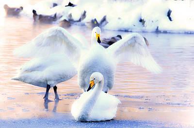 A Swan  Waving Original