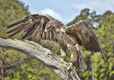A Tawney Eagle Art Print by Barry Monaco