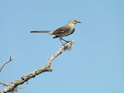 A Texas Mockingbird Art Print by Rebecca Cearley