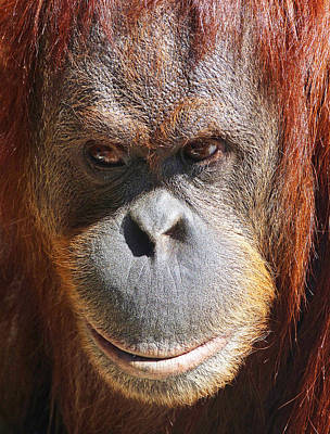 Photograph - A Thoughtful Orangutan by Margaret Saheed