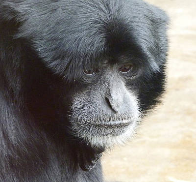 Photograph - A Thoughtful Siamang by Margaret Saheed