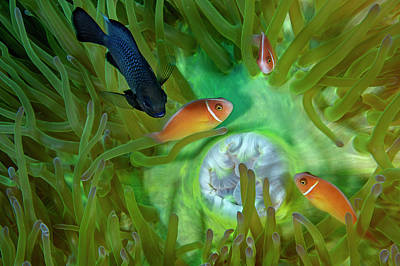 A Threespot Damselfish Swims Art Print by David Doubilet