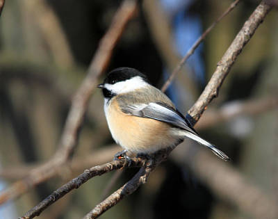 Photograph - A Tiny Chickadee Puffball by Cathy  Beharriell