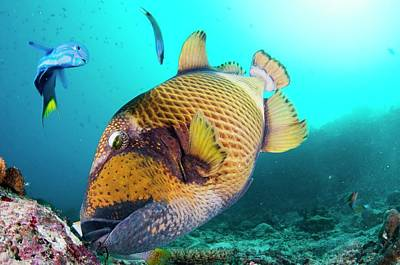 Triggerfish Photograph - A Titan Triggerfish Feeding by Scubazoo