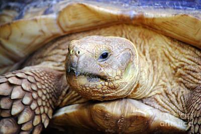 Africa Photograph - A Tortoise Among Turtles by Kayne  Johnson