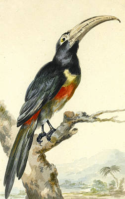 A Toucan On A Branch. Pteroglossus Aracari Art Print by Aert Schouman