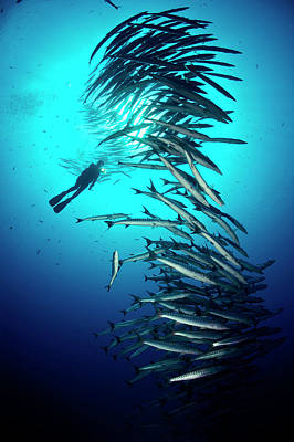 A Tower Of Chevron Barracuda Rises Art Print by David Doubilet