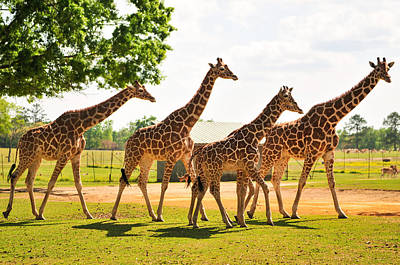 Photograph - A Tower Of Giraffe by Photography  By Sai