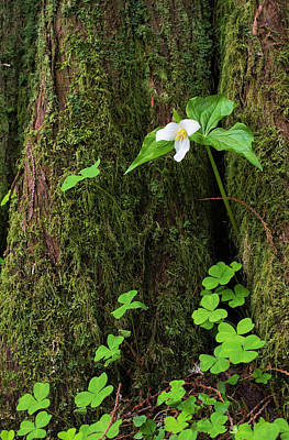 Red Trillium Photograph - A Trillium Grows From The Trunk by Robert L. Potts