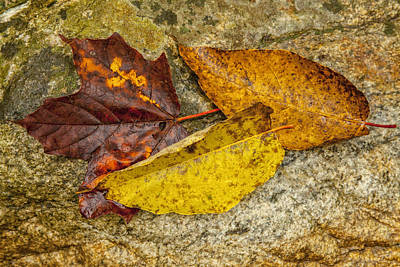 Photograph - A Trio Of Leaves by Karol Livote