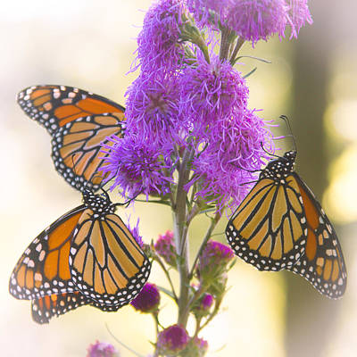 Photograph - A Trio Of Monarchs by Heidi Hermes