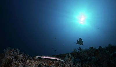 Photograph - A Trumpetfish Swimming Along The Alma by Alessandro Cere