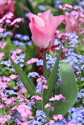 Sutton Photograph - A Tulip At Luxembourg Gardens, Paris by William Sutton