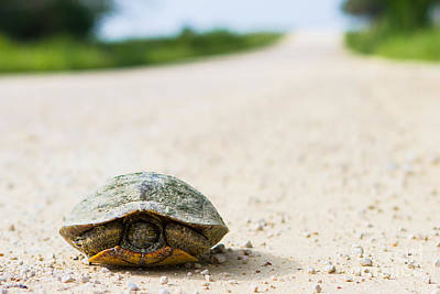 Reptiles Royalty-Free and Rights-Managed Images - A turtle on a Texas farm road by Ellie Teramoto