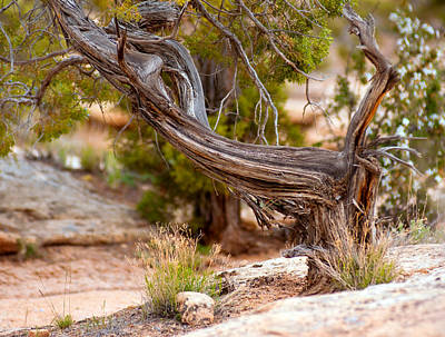 Photograph - A Twisted Juniper  by Eric Rundle
