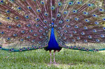 A Vargos Peacock Art Print by Tim Stanley
