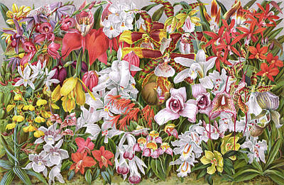 Orchid Drawing - A Variety Of Species          Date 1894 by Mary Evans Picture Library