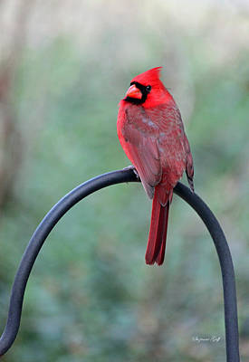 Red Photograph - A Very Handsome Feathered Fellow by Suzanne Gaff