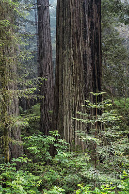 Photograph - A View Into The Redwoods by Sandra Bronstein