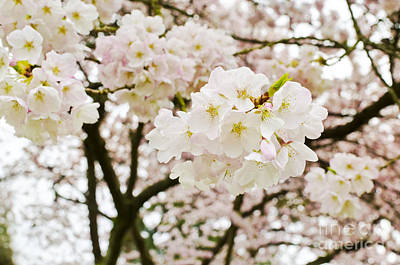 Photograph - A Vision Of Blossoms by Maria Janicki