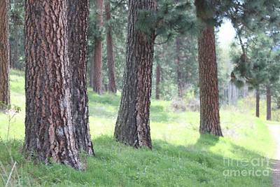 Photograph - A Walk Among The Ponderosa Pine by Terri Thompson