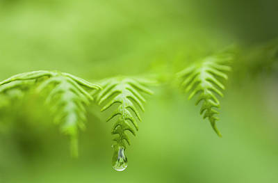 Moisture On Plants Photograph - A Waterdrop Hangs On The Edge Of A Fern by Robert L. Potts