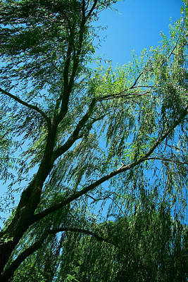Photograph - A Weeping Willow Tree by Cora Wandel