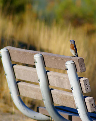 Photograph - A Western Bluebird On A Common Bench Crop 2 by Ben Upham III