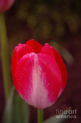 A Wet Tulip Print by Jeff Swan