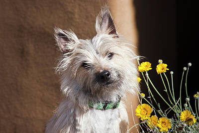 A White Cairn Terrier Sitting Next Art Print by Zandria Muench Beraldo