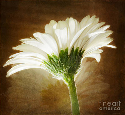 Photograph - A White Gerber Daisy Against A Vintage Backdrop by MaryJane Armstrong