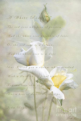 Photograph - A White Rose by Linda Lees