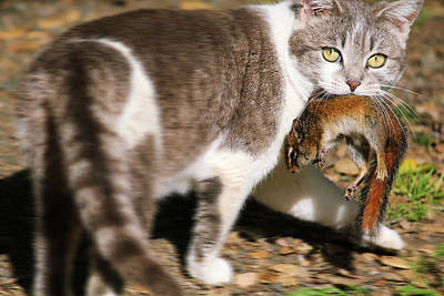 Photograph - A Wild Cat Catching A Chipmunk by Xueling Zou