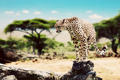 Hunt Photograph - A Wild Cheetah About To Attack by Michal Bednarek