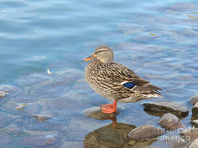 Photograph - A Wild Duck Standing On A Rock by Michaline  Bak