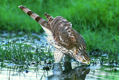 Photograph - A Wild Juvenile Cooper's Hawk Drinks From A Pond by Dave Welling
