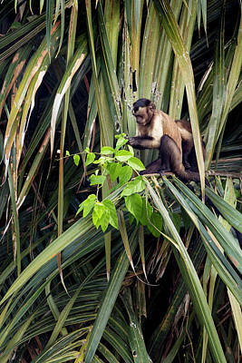 A Wild Tufted Capuchin Or Brown Art Print by Jon G. Fuller
