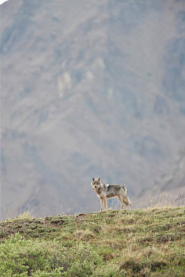 Predation Photograph - A Wolf From The Grant Creek Pack by Hugh Rose